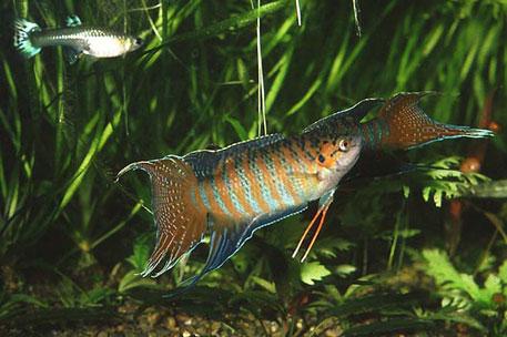 Labyrinthfische zierfische f r einsteiger for Lebendfutter zierfische