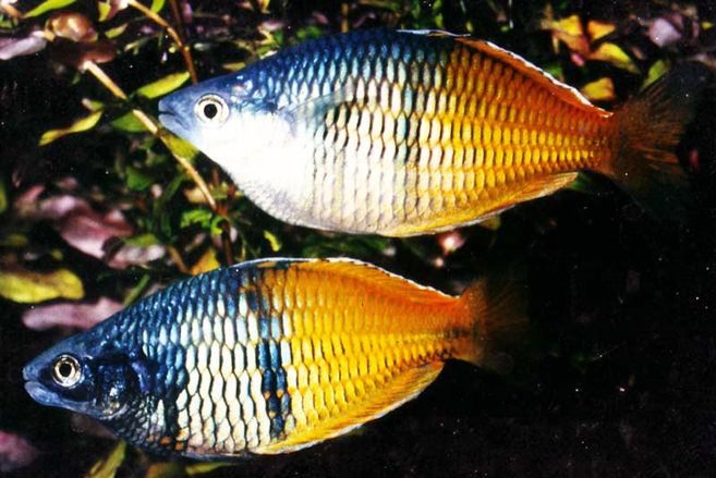 Regenbogenfische zierfische f r einsteiger for Lebendfutter zierfische
